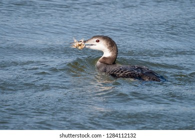 A non-breeding Common Loon surfaces with a freshly caught crab