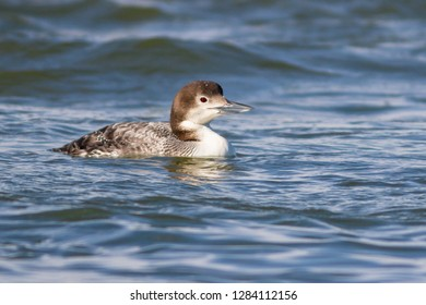 A non-breeding Common Loon swimming along the Ocean City Inlet, Maryland