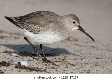 A non-breeding Dunlin foraging along the beaches of Delaware Bay