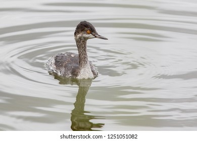 A non-breeding Eared/Black-necked Grebe   swimming on a pond