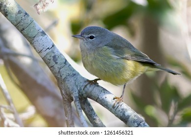 A non-breeding eastern Orange-crowned Warbler perching on a branch
