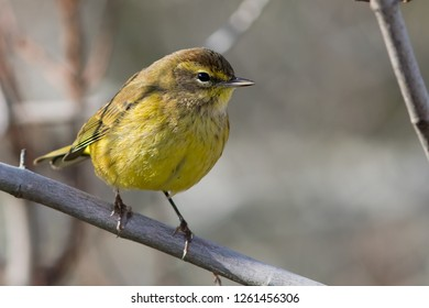 A non-breeding eastern (yellow) Palm Warbler perching on a branch