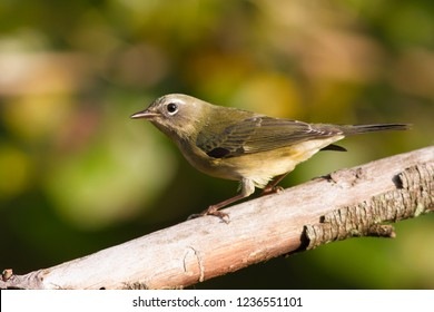 A non-breeding female Black-throated Blue Warbler perching on a  branch
