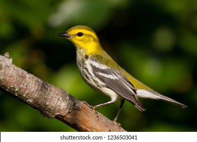 A non-breeding female Black-throated Green Warbler perching on a branch