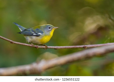 A non-breeding female Northern Parula perching on a branch