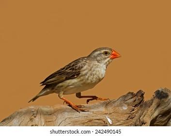 Non-breeding Female Red-Billed Quelea perched on log; Quelea quelea