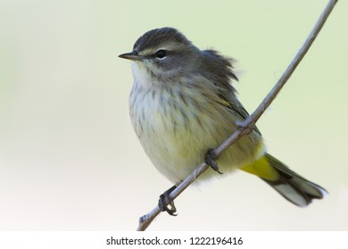 A non-breeding female western Palm Warbler perching on a tree branch