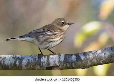 A non-breeding female Yellow-rumped Warbler perching on a branch