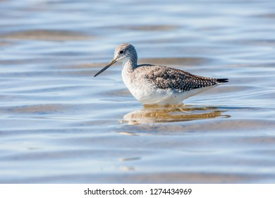 A non-breeding Greater Yellowlegs foraging in a shallow pond