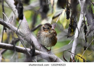 A non-breeding immature Swamp Sparrow perched on a branch with head turned in the undergrowth on an autumn morning.  Photographed in New Hampshire, USA.