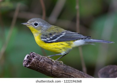 A non-breeding Magnolia Warbler perching on a tree branch