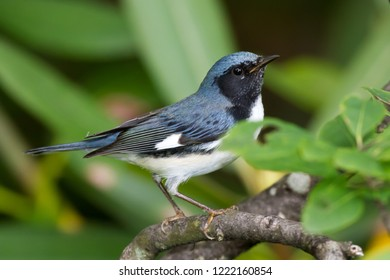 A non-breeding male Black-throated Blue Warbler perching on a tree branch