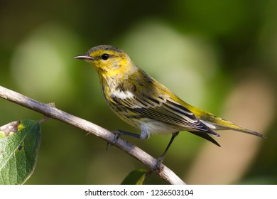 A non-breeding male Cape May Warbler perching on a shaded branch