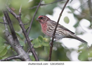 A non-breeding male House Finch perching in a tree