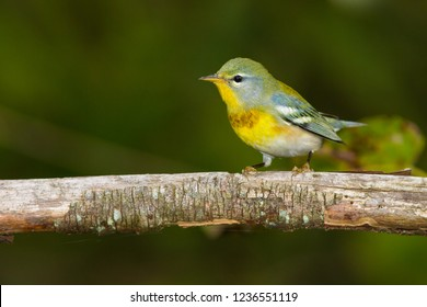 A non-breeding male Northern Parula perching on a branch