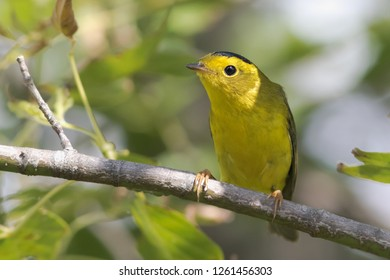 A non-breeding male Wilson's Warbler perching in a tree