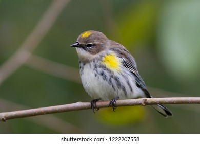 A non-breeding male Yellow-rumped Warbler perching on a tree branch