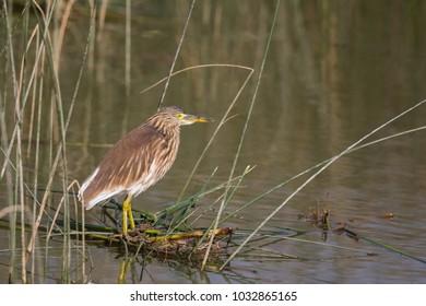 A non-breeding plumage Indian Pond Heron (Ardeola grayii) also known as Paddybird, standing in marshland habitat, Gujarat, India