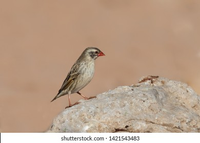 A non-breeding plumage Red billed Quelea (Quelea quelea) perched on a rock, against a plain blurred background, South Africa