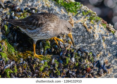 A non-breeding Purple Sandpiper perched on the jetty at Ocean City Inlet, Maryland