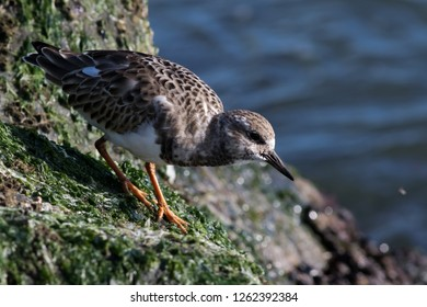 A non-breeding Ruddy Turnstone foraging along the jetty at Ocean City Inlet, Maryland