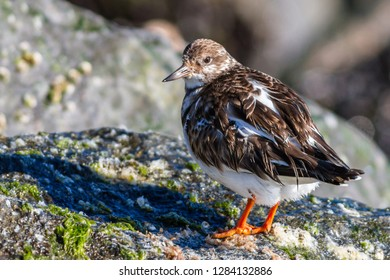 A non-breeding Ruddy Turnstone perched on the jetty at the Ocean City Inlet, Maryland