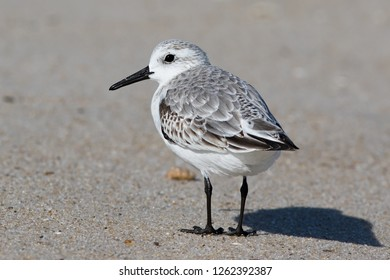 A non-breeding Sanderling resting on the beach at Ocean City, Maryland