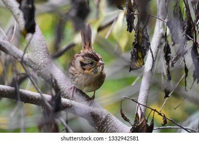 Non-breeding Swamp Sparrow perched on a branch in the undergrowth foraging for food.  Photographed in New Hampshire, USA.