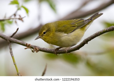 A non-breeding Tennessee Warbler perching on a tree branch