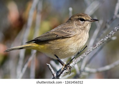 A non-breeding western (brown) Palm Warbler perching on a branch
