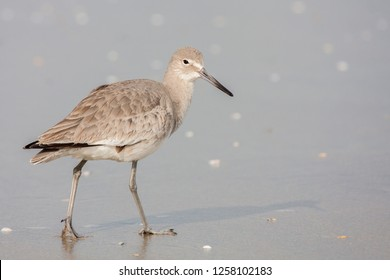 A non-breeding Western Willet foraging in the surf at Imperial Beach, San Diego, California