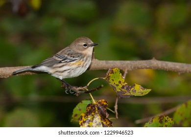 A non-breeding Yellow-rumped (Myrtle) Warbler perching in a tree