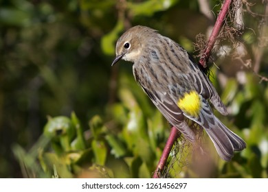 A non-breeding Yellow-rumped Warbler perching on a branch
