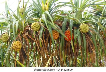 non-edible tropical pandan fruit or pandanus  which grows from palm trees in Sri Lanka. Pandan Tree.   Pandanus tree, Pandanus Palm, Citrifolia Fruits. Screwpine fruits