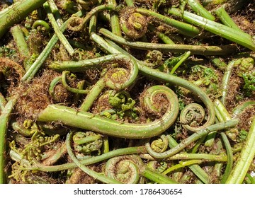 Non-farmed vegetable - Photo of fiddlehead fern wild vegetables in hilly area of Himachal Pradesh, India