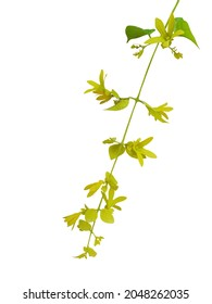 Nong Noch vine (Petraeovitex bambusetorum) isolated on white background. Ornamental climbing plant with yellow drooping flowers.