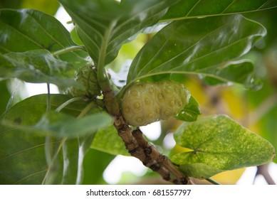 Noni fruit on green tree