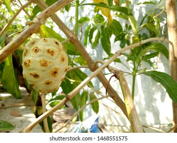 Noni, Great morinda, Mulberry Beach. Noni fruit or commonly used as herbal medicine. Fresh noni in the tree with green leaves.