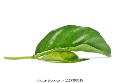 Noni or Morinda Citrifolia green leaves isolated on white background (Rubiaceae Noni, great morinda, indian mulberry, beach mulberry, cheese fruit, Gentianales)