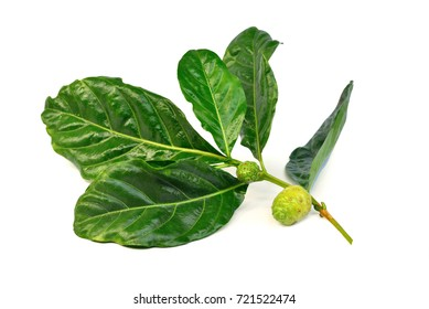 Noni or  Morinda Citrifolia (Rubiaceae Noni, great morinda, indian mulberry, beach mulberry, cheese fruit, Gentianales)  green leaf and fruit isolated on white background, Thai herb