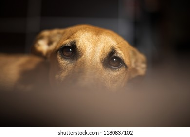 Non-native domestic dog looks at camera. Not bold dog peeks out from couch