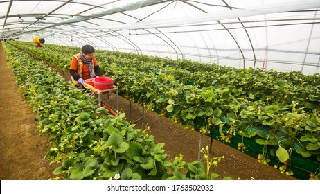 Nonsan, South Korea - 2016, Feb 12 : Workers in vinyl house of Strawberry fruit