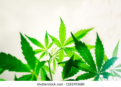 Non-standard, hybrid leaves of cannabis green cannabis seen from