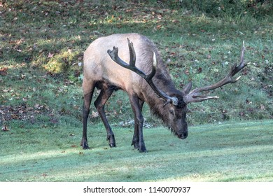 Non-typical Bull Elk