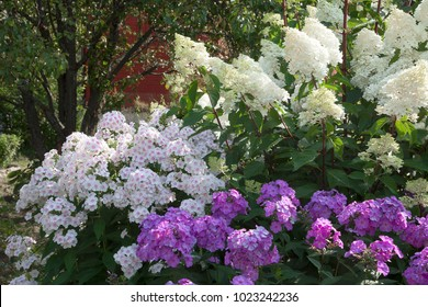 The nook of the garden with lush flowering Hydrangea paniculata and multi-colored Phlox. Closeup.
