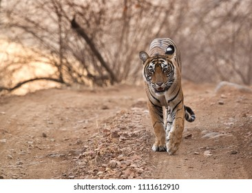 Noor cub on the road of Ranthambore Tiger Reserve