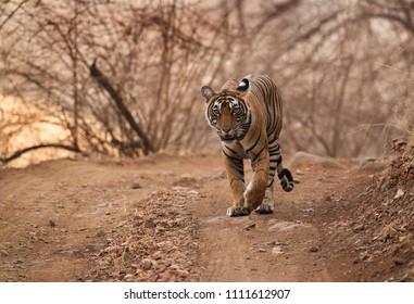 Noor cub walking on the road at Ranthambore Tiger Reserve