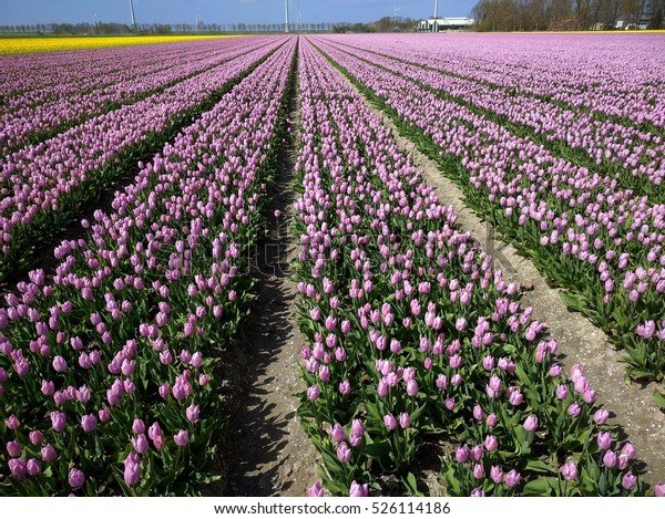 NOORDOOSTPOLDER, THE NETHERLANDS - rows of pink tulips, bulb storage shed and wind farm at horizon. The reclaimed soil is Zuyderzee deposit containing shell fragments and has a loamy sand texture.