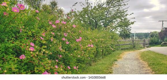 Nootka Roses Bloom Along Trail