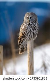 Nordic great gray owl (Strix nebulosa)